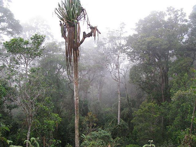 Pandanus tree on the Kokoda Trail - © Flickr user Arthur Chapman