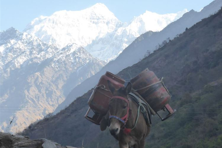 Manaslu Circuit: Mules descending with empty gas bottles beneath Ganesh Himal near Salleri - © Dick Everard