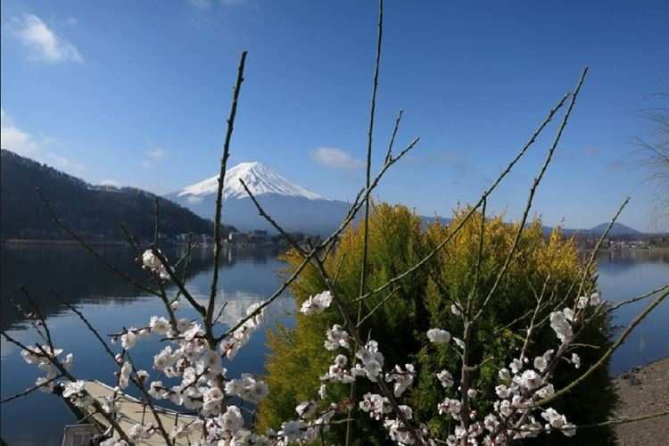 Mount Fuji and blossoms