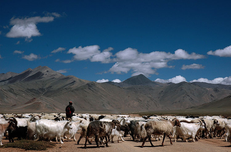 Shepherds in Ladakh - © By Flickr user Koshyk