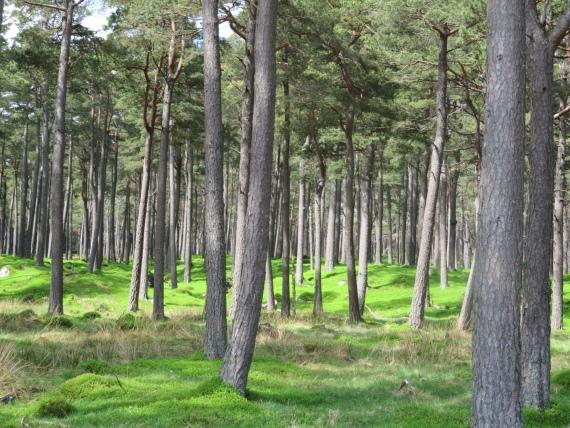 Lochnagar and Loch Muick: Light on Scotch pine forest  - © William Mackesy