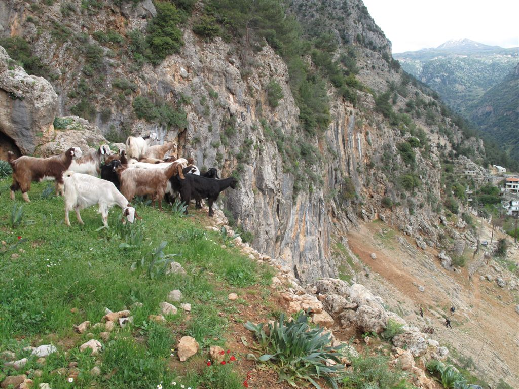 Goats watching hikers climb a hill - Al Fraidis village - Mount Lebanon - © ImadM
