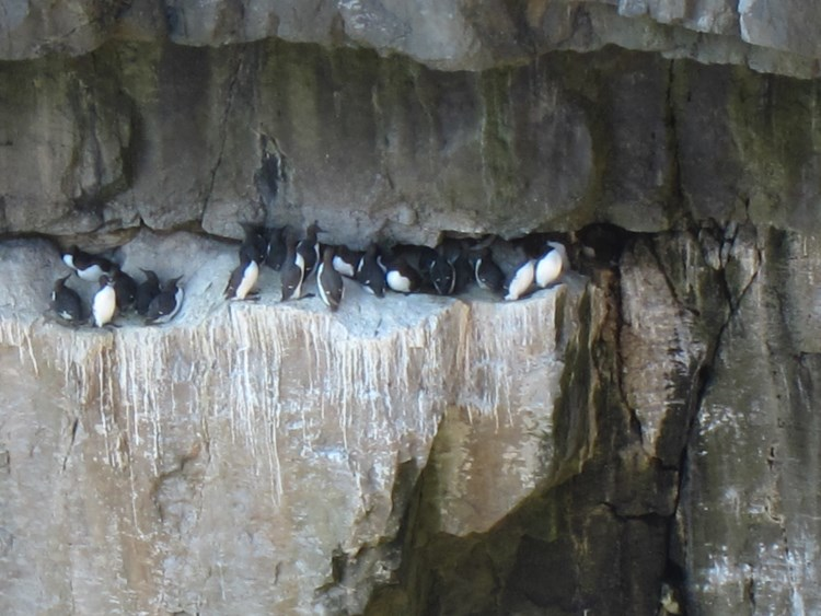 Guillemots at Stackpole Head - © William Mackesy