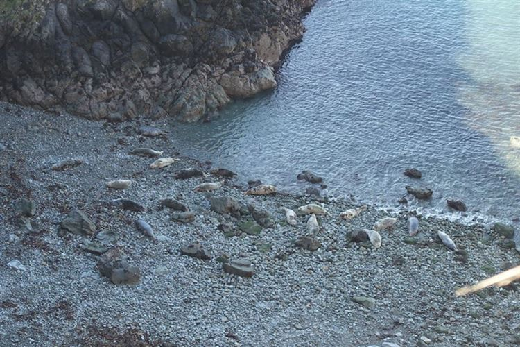 Pembrokeshire Coastal Path: Seals and seal pups - © Christopher J. Etchells