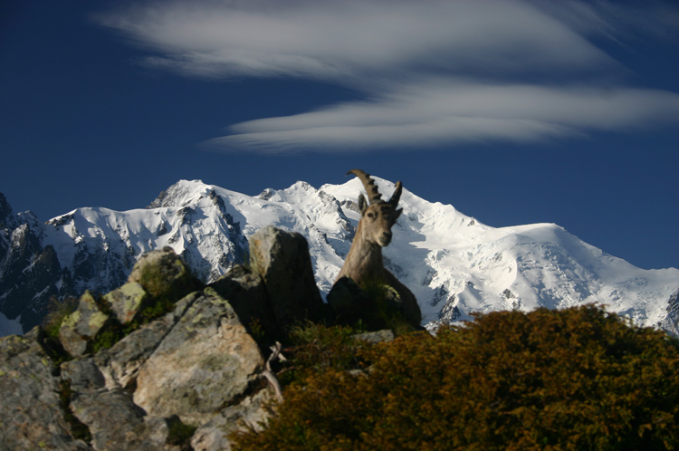 Aiguilles Rouges: Mt Blanc with ibex - © William Mackesy