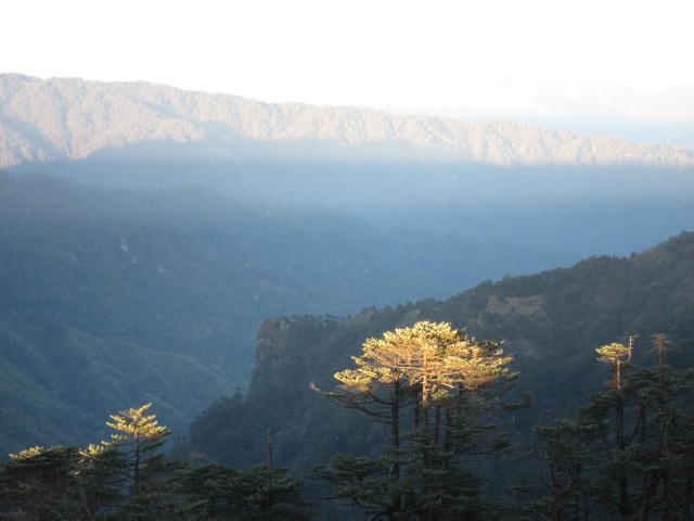 India Sikkim and nearby, Singalila Ridge, Last light on pine, evening light, Walkopedia