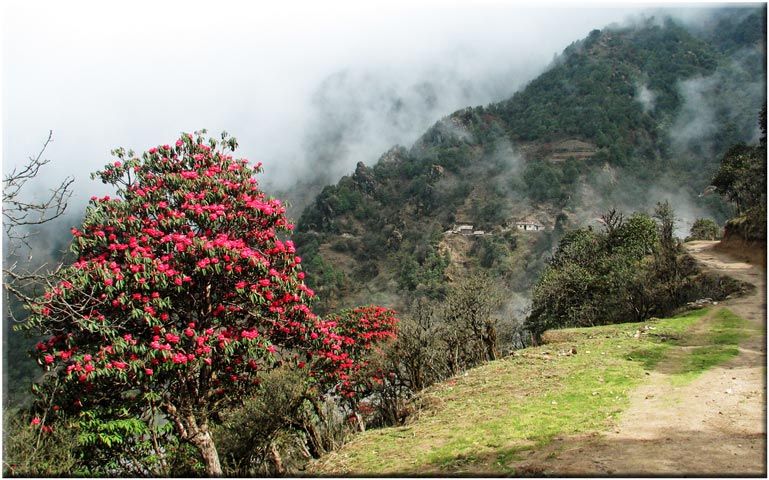 India Sikkim and nearby, Singalila Ridge, Rhododendrons, Singalila Ridge, Walkopedia