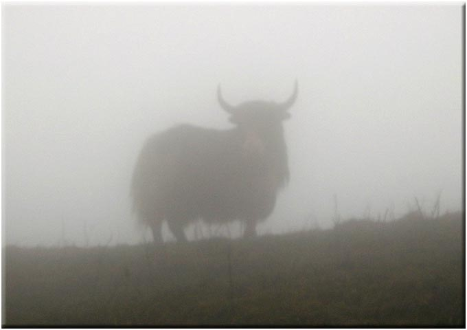 Yak in mist, Singalila Ridge - © David Briese, www.gang-gang.net/nomad