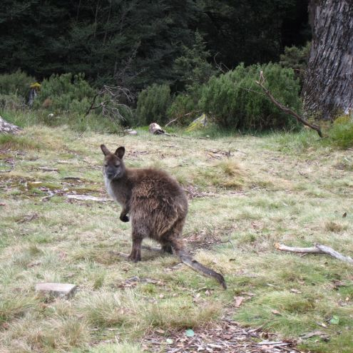Day 3 - Another Wallaby - © William Mackesy