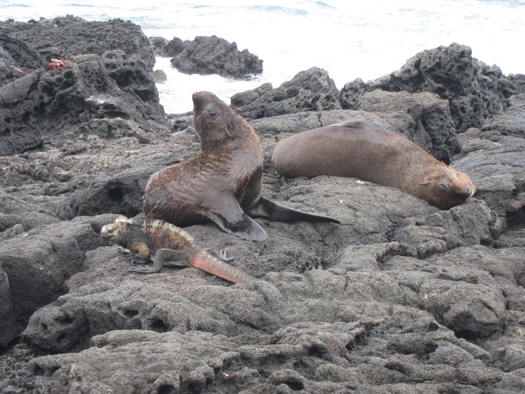 Marine Iguana and sea lions, Puerto Egas, San Salvador - © William Mackesy