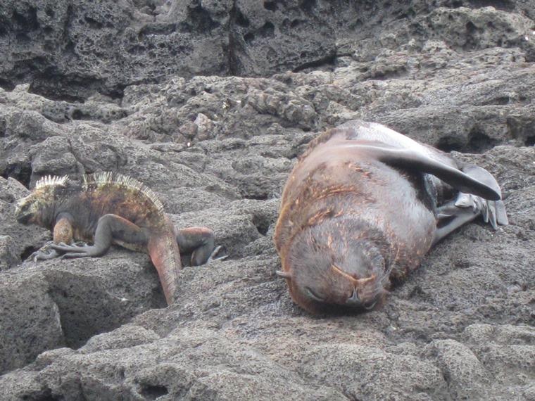 Ecuador Galapagos Islands, Galapagos Islands, Marine Iguana and sea lion, Puerto Egas, San Salvador, Walkopedia