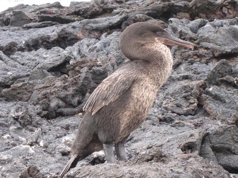 Ecuador Galapagos Islands, Galapagos Islands, Flightless cormorant, Walkopedia