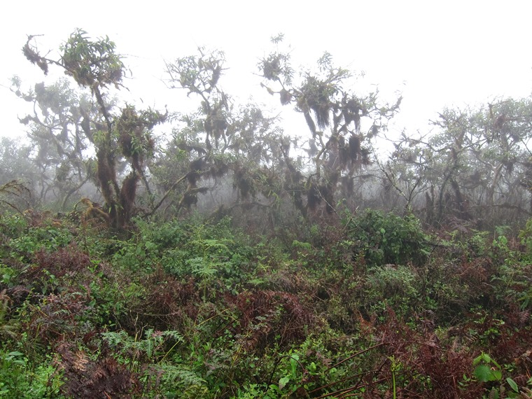 Cloud forest, Sierra Negra, Isabela - © William Mackesy