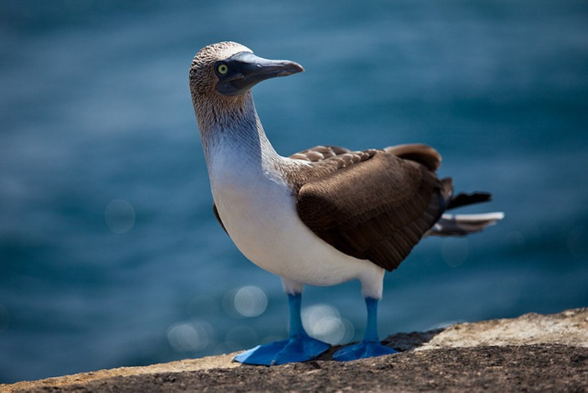 Galapagos Islands: Blue footed booby - © Flickr User - Peri Apex