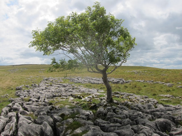 another Lonely tree in rock pavement - © William Mackesy