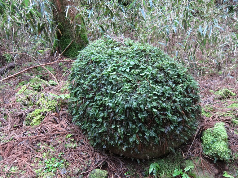 Kumano Kodo: Nakahechi - covered boulder  - © William Mackesy
