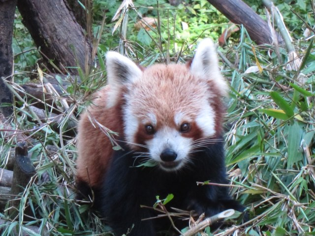 Red Panda in zoo - © William Mackesy