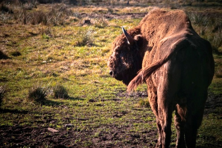 European Bison  - © flickr user- Marc Veraart
