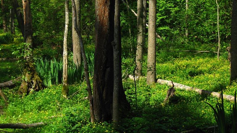 Poland, Bialowieska forest, Buttercups (Ranunculus) - © Erik de Haan
