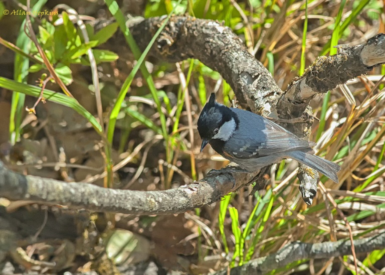 Binsar Wildlife Sanctuary: Black- throated tit  - © Allan Hopkins