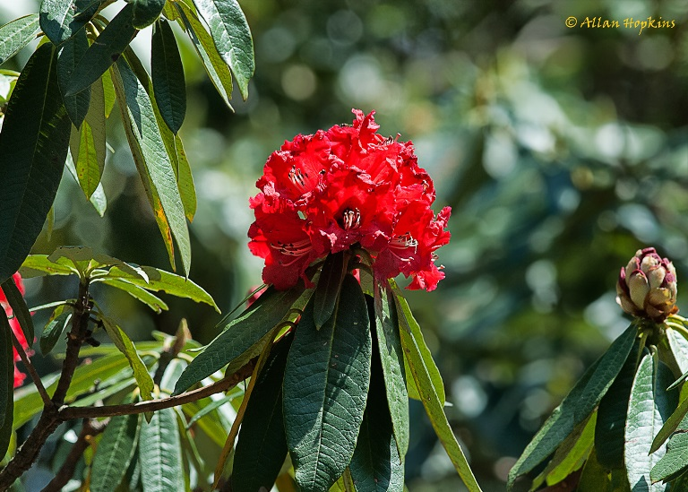 Binsar Wildlife Sanctuary: Rhododendron arboreum inflorescence - ©  Allan Hopkins