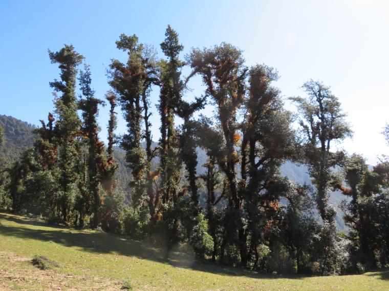 India NW: Uttarakhand/Garwhal, Nanda Devi Area, Curzon Trail forest, Walkopedia