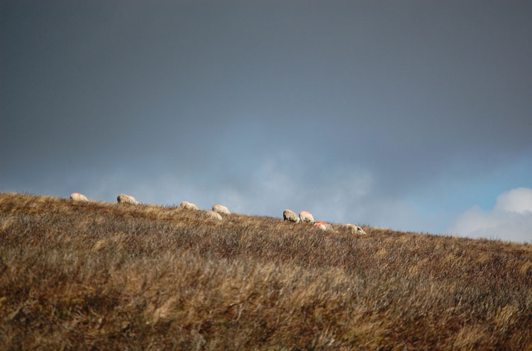 Dunkery Beacon: Sheep on Dunkery Beacon - © By Flickr user Strife