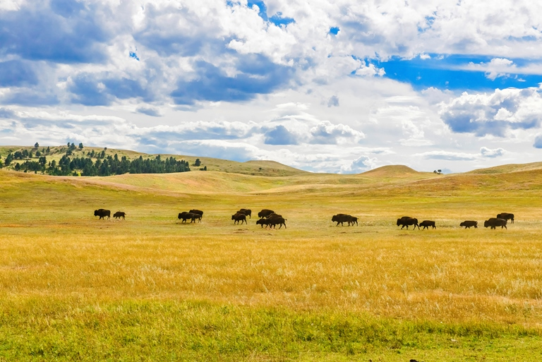 Black Hills and Grasslands, South Dakota: Buffalo-South Dakota Black Hills  - © Jerry and Pat Donaho flickr user