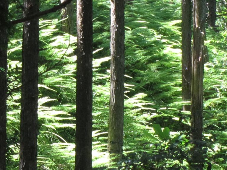 Japan Kansai: Kii Peninsula, Nakahechi Trail , Illuminated ferns , Walkopedia
