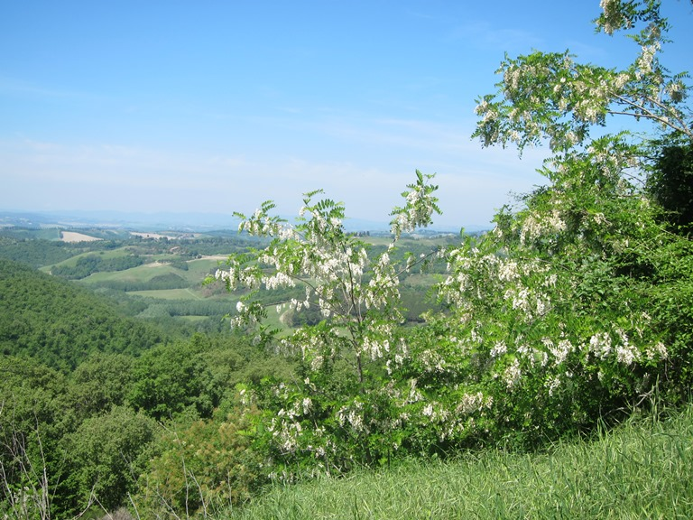 Via Francigena; San Gimignano to Montalcino: Acacia, believed - © William Mackesy