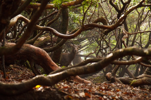 Deer on the Yaku-shima traverse - © Flickr user: Indrik Myneur