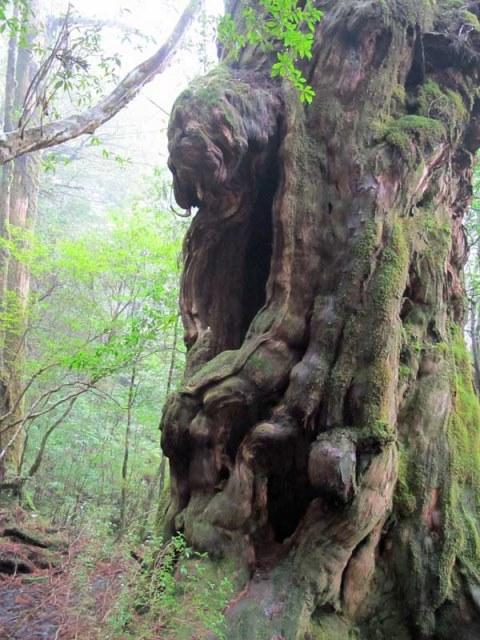 Yaku-shima: Giant cedar - © Walk Japan