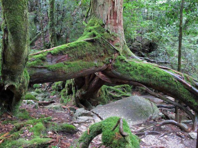 Yaku-shima: Kuguri cedar - © Walk Japan