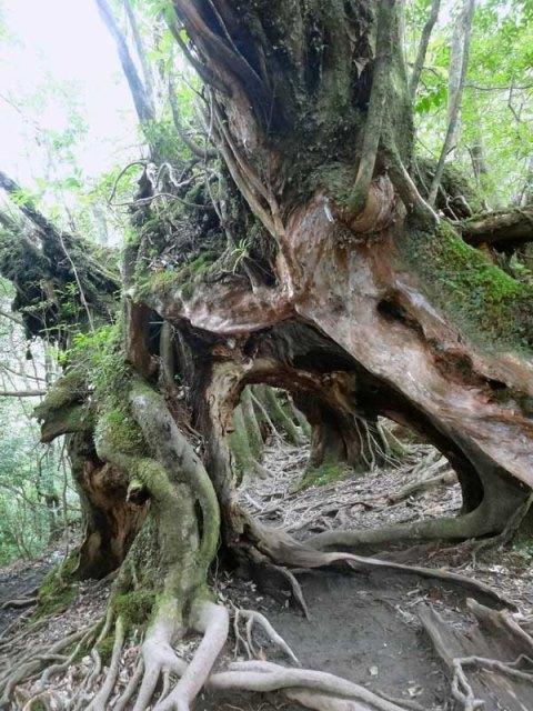 Yaku-shima: Yakushima cedar - © Walk Japan