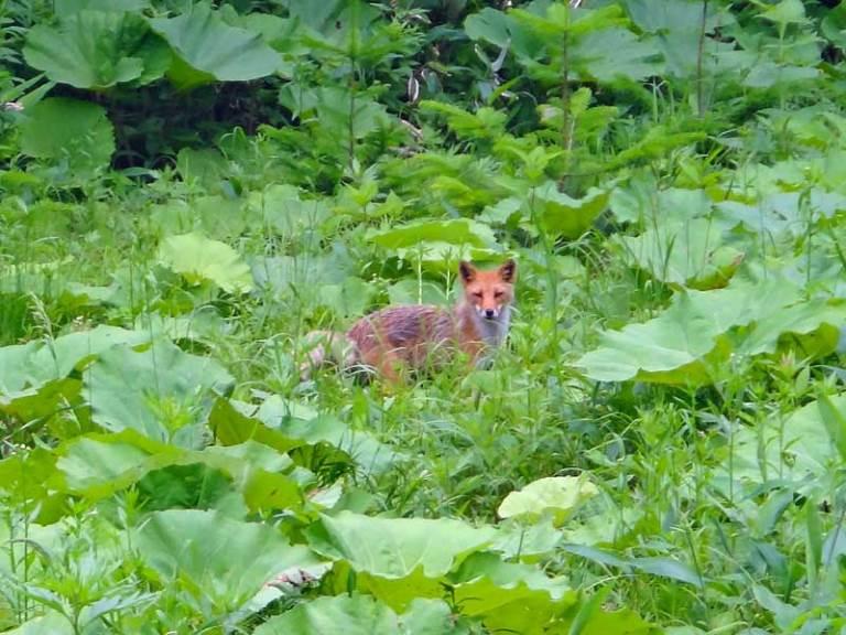 Fox  - © Walk Japan