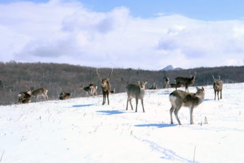 Shiretoko deer - © Walk Japan