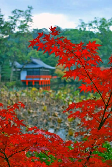 Autumn maple leaves at Usa Shinto Shrine - © Walk Japan