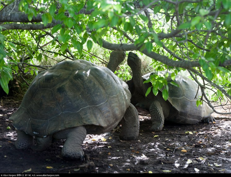 Galapagos tortoise greeting ceremony - © Flickr User - Alan Harper