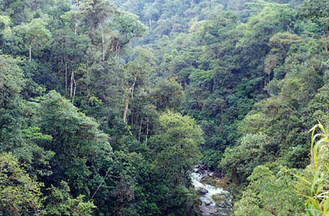 Podocarpos: Bosquebombus - podocarpus - Zamorayt