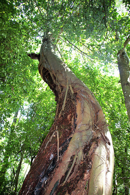 Podocarpos: Moreton Bay Fig