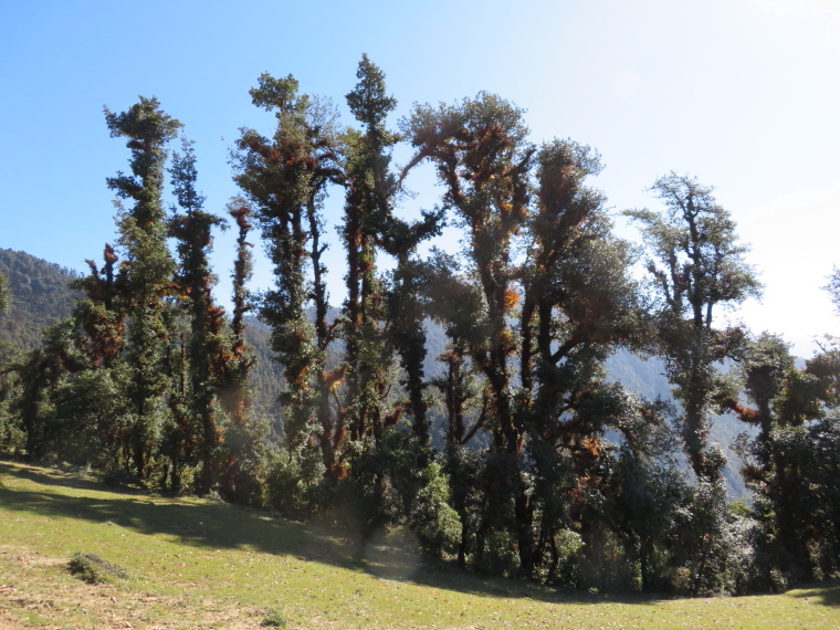 India NW: Uttarakhand, Garwhal, Kumaon Himalaya , Curzon Trail forest, Walkopedia