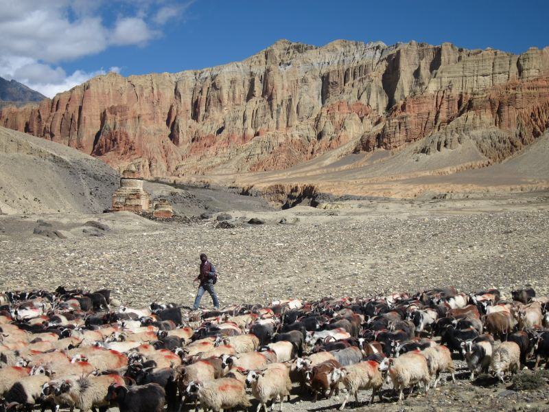 Goats, lonely chorten, Drakmar cliffs - © William Mackesy