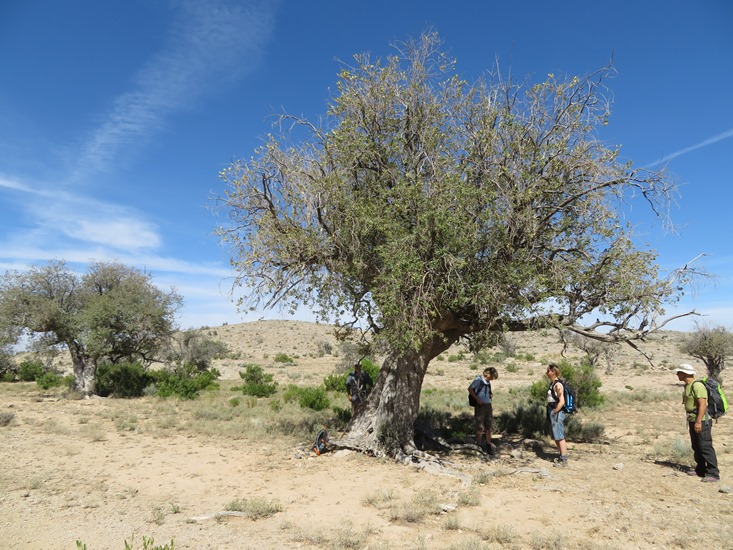 Oman Western Hajar Mts: Jebel Akhdar, Qiyut to Ar Roos Traverse , Ancient wild olives, Walkopedia