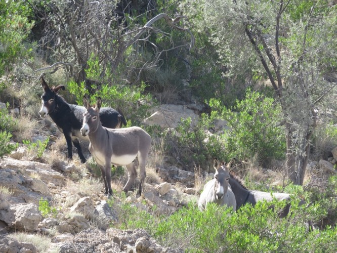 Oman Western Hajar Mts: Jebel Akhdar, Qiyut to Ar Roos Traverse , Wild donkeys, Walkopedia