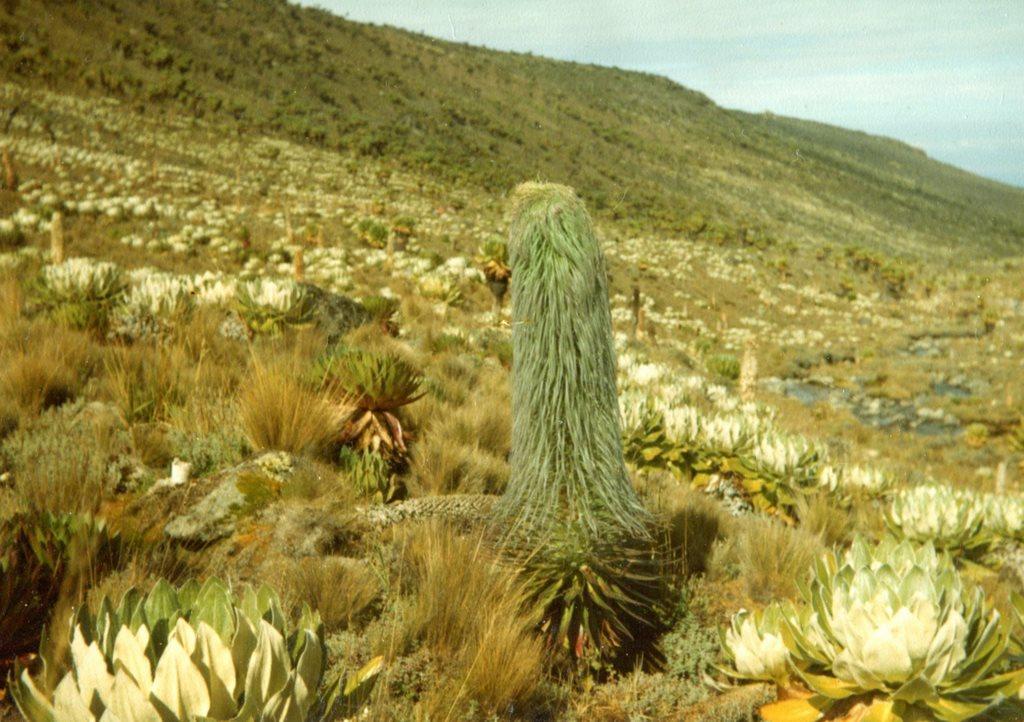 Mount Kenya: Giant Lobelia Dougal Plant Mt Kenya 1 - © Dick Everard