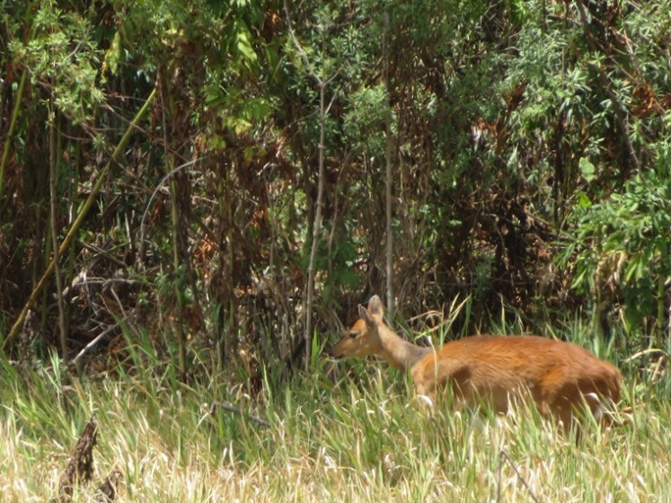 Bushbuck - © William Mackesy