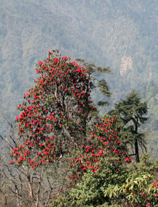 Rhododendrons near Tshoka - © David Briese, www.gang-gang.net/nomad