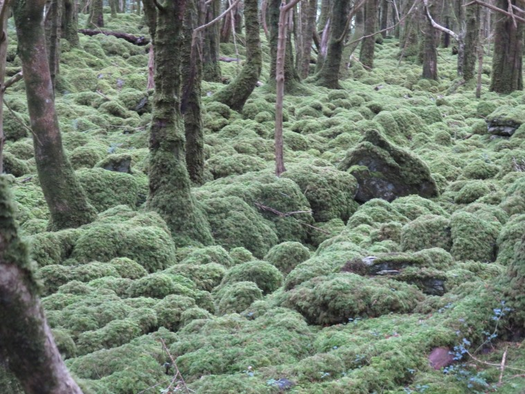 Killarney National Park: Mossy boulders, Muckross Lake - © William Mackesy