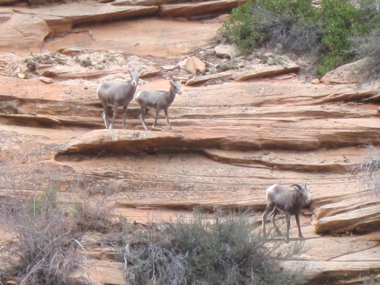 Observation Point and Hidden Canyon: Long-horned Sheep - © William Mackesy