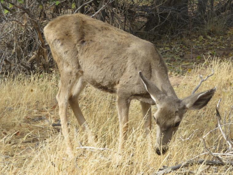 Mule deer - © William Mackesy